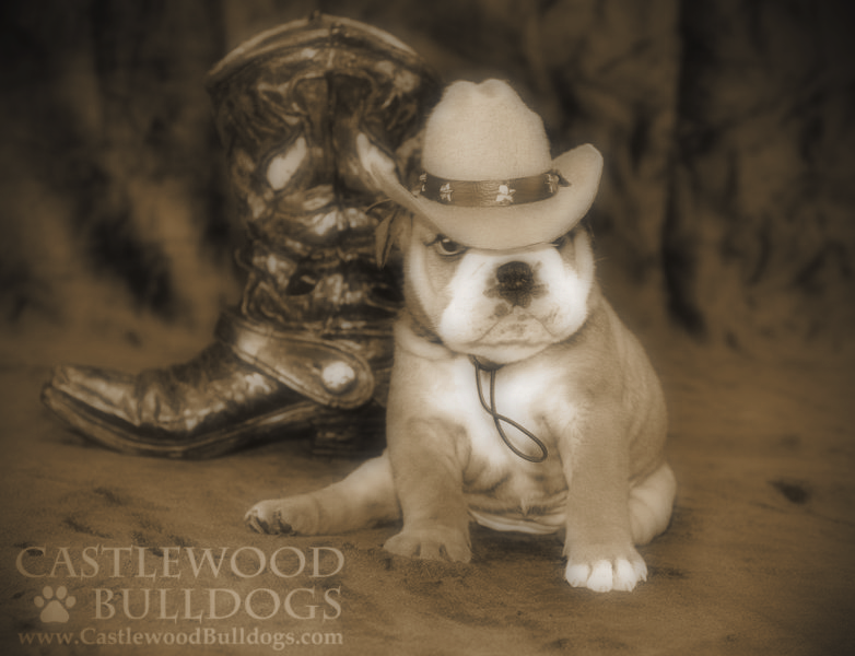 This is a photo of a bulldog puppy for sale