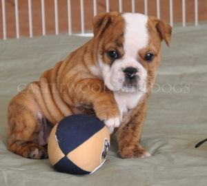 This is a photo of Bulldog Puppy Playing With Football