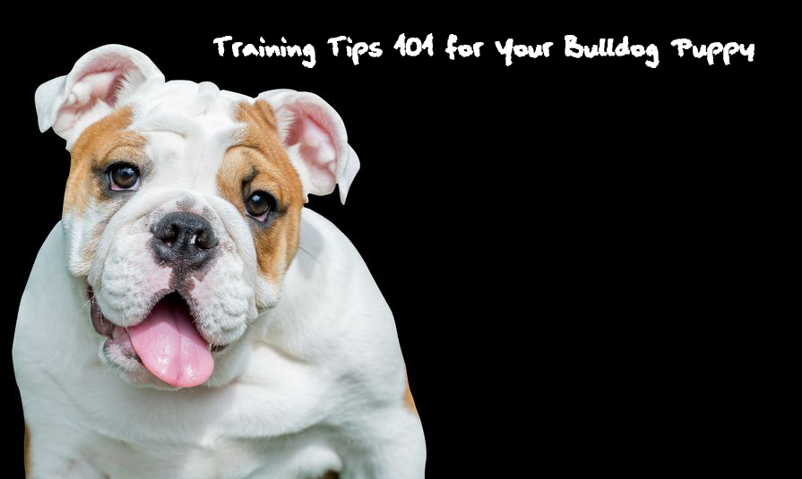 This is a photo of a bulldog with the text how to train an English bulldog