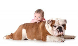 This is a photo of an English Bulldog and Baby