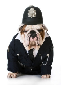 This is a photo of an English Bulldog in a police uniform