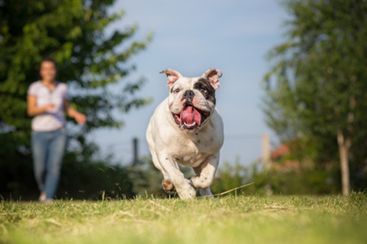 This is a photo of an English Bulldog playing and running in the park