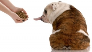 This is a photo of an English Bulldog refusing food and sticking his tongue out