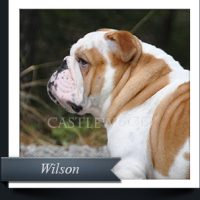 Bulldog-Male-Wilson-135x150