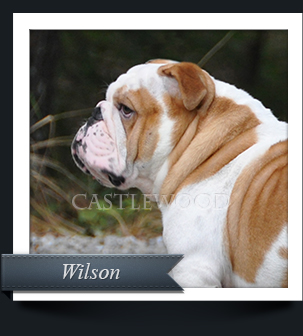 This is a profile photo of our bulldog male, Wilson.