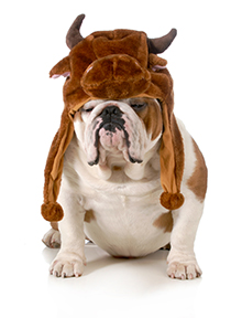 This is an english bulldog wearing a bull hat