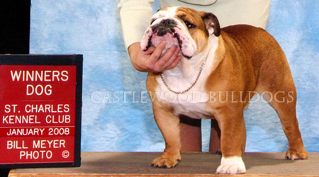 This is a photo of king the prize winning bulldog King from Castlewood English bulldog breeders