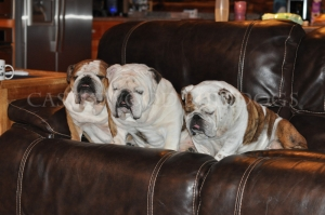 This is a photo of three bulldogs together on a couch