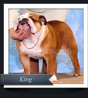 This is a photo of Castlewood Bulldog Breeders Champion Bulldog KIng