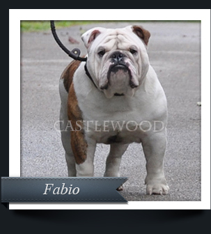 This is Fabio the English Bulldog