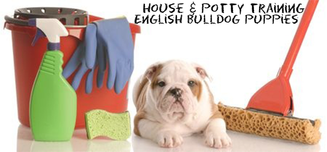 House-and-Potty-Training-English-BUlldog-puppies