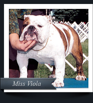 This is a photo of Casltewood Bulldog Breeders Viola the bulldog