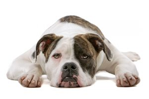 american bulldog laying down
