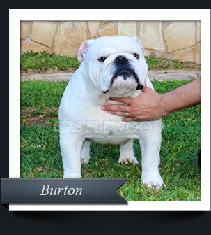 This is a photo of our Bulldog Male Named Burton