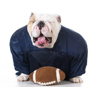 English Bulldog with a football and unifrom
