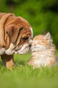 Bulldog Puppy with a Kitten