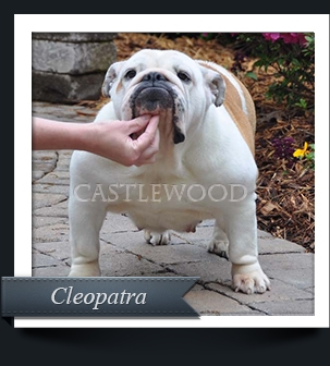 This is a photo of Cleo the Bulldog from Castlewood Bulldogs