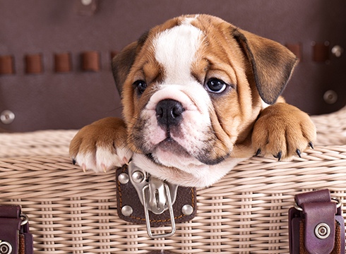 english bulldog names 10 most popular english bulldog names castlewood bulldogs 7160