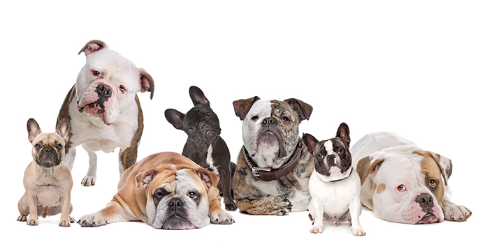 various breeds of bulldogs together